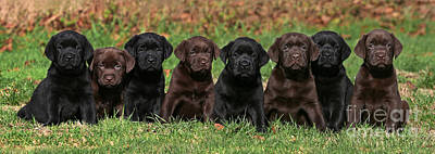 8 Labrador Retriever Puppies Brown And Black Side By Side Print by Dog Photos