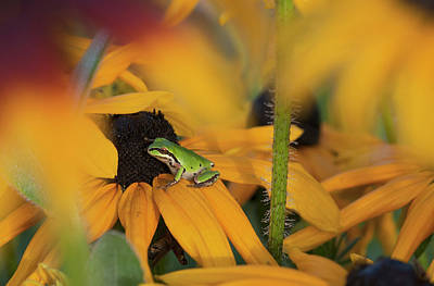 A Pacific Treefrog Looks For Flies Print by Robert L. Potts