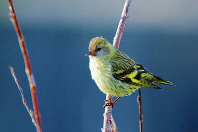 Siskin Photograph - A Pine Sisken (carduelis Pinus by Richard Wright