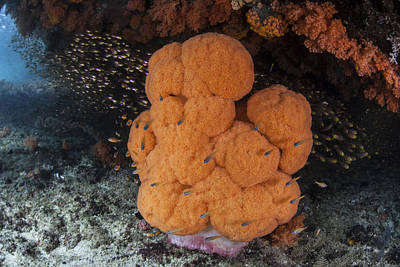 Dampier Photograph - A Soft Coral Colony Grows by Ethan Daniels