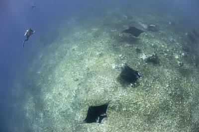 Batoidea Photograph - A Trio Of Reef Manta Rays Swimming by Steve Jones
