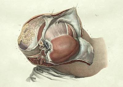Abdominal Organs Print by Science Photo Library