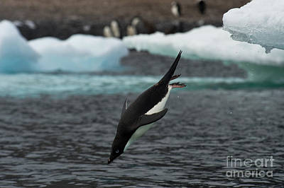 Antartica Photograph - Adelie Penguin Diving by John Shaw
