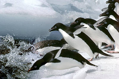 Penguin Photograph - Adelie Penguins by Art Wolfe