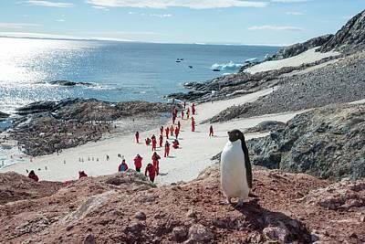 Adelie Penguins Print by Ashley Cooper