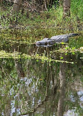 Alligator Photograph - Alligator In Swamp by Jim West