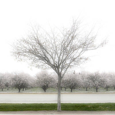 Almond Photograph - Almond Orchard by Carol Leigh