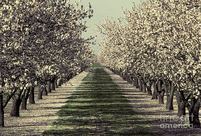 Almond Tree Photograph - Almond Orchard In Bloom by Ron Sanford