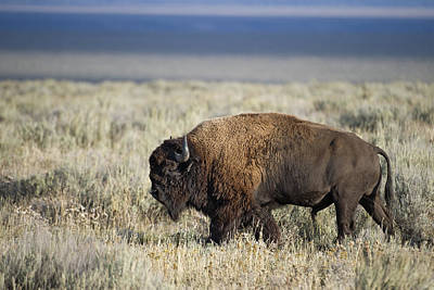 American Bison Print by Gary Langley