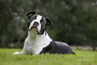 Pitbull Photograph - American Staffordshire Terrier Puppy by Johan De Meester