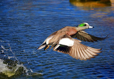 Ducks In Flight Photograph - American Wigeon by Donna Kennedy