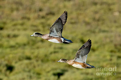 Two Ducks In Flight Photograph - American Wigeon Pair In Flight by Anthony Mercieca