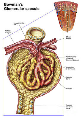 Anatomy Of Bowmans Glomerular Capsule Print by Stocktrek Images