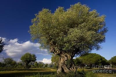 Olea Europaea Photograph - Ancient Olive Olea Europaea Trees by Bob Gibbons