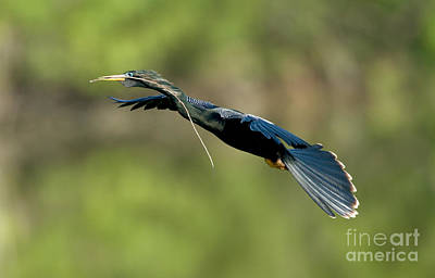 Anhinga Photograph - Anhinga by Anthony Mercieca