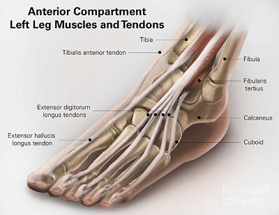 Human Joint Digital Art - Anterior Compartment Anatomy Of Left by Alan Gesek