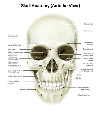 Anterior View Of Human Skull Print by Alan Gesek