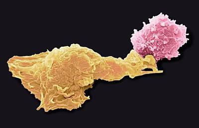 Antigen Presentation Print by Steve Gschmeissner