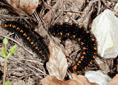 Caterpillar Photograph - Apollo Butterfly Caterpillars by Bob Gibbons