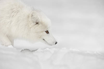 Arctic Fox Print by Andy Astbury