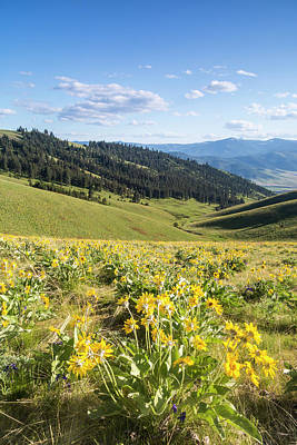 Bison Photograph - Arrowleaf Balsamroot Wildflowers by Chuck Haney