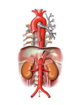 Arterial System Print by Asklepios Medical Atlas