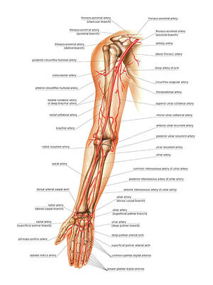 Arteries Photograph - Arterial System Of The Arm by Asklepios Medical Atlas
