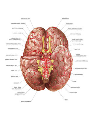 The Human Body Photograph - Arterial System Of The Brain by Asklepios Medical Atlas