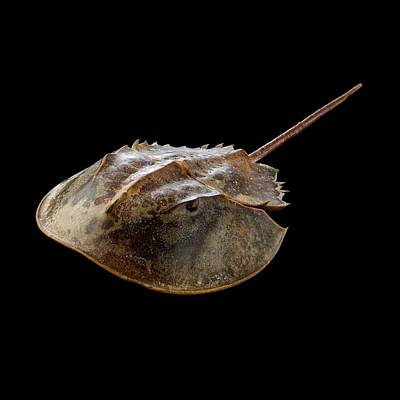 Limulus Polyphemus Photograph - Atlantic Horseshoe Crab by Science Photo Library
