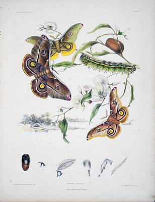 Professional Drawing - Australian Butterflies by Philip Ralley