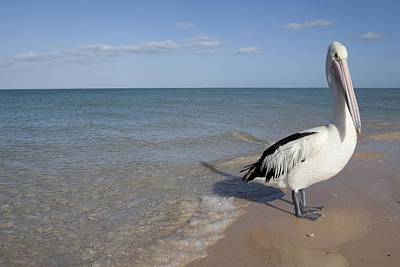 Monkey Mia Photograph - Australian Pelican by Science Photo Library