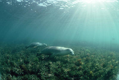 Australian Sea Lions Print by Jeff Rotman