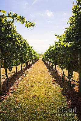 Australian Winery Landscape Of Vineyard Grapes Print by Jorgo Photography - Wall Art Gallery