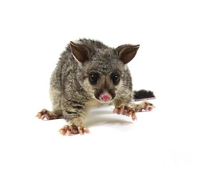 Brushtail Photograph - Baby Common Brushtail Possum by Gerry Pearce