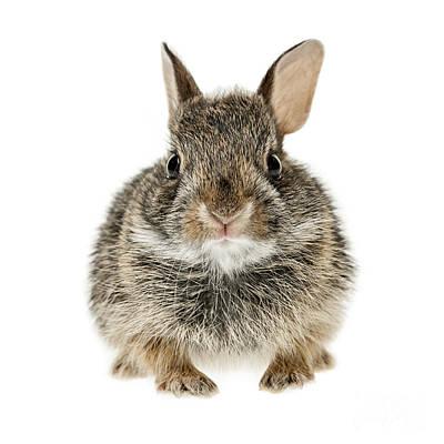Baby Cottontail Bunny Rabbit Print by Elena Elisseeva