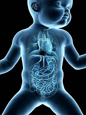Internal Organs Photograph - Baby's Internal Organs by Sebastian Kaulitzki