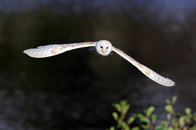 Owl In Flight Photograph - Barn Owl by Grant Glendinning