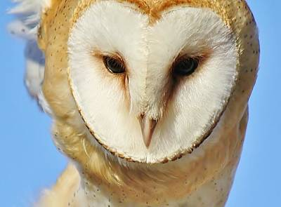 Barn Owl Up Close Print by Paulette Thomas