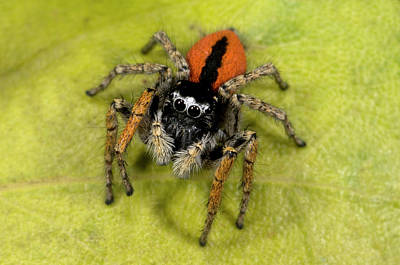 Striking Photograph - Beautiful Jumper Spider by Nigel Downer