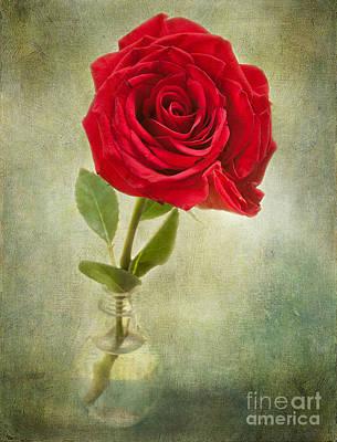 Beautiful Rose Original by Lena Auxier