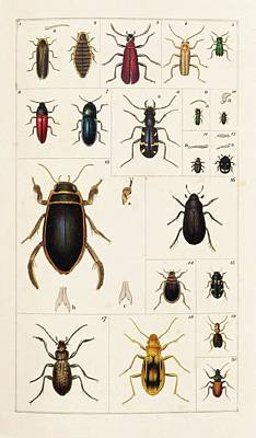 1819 Photograph - Beetles by King's College London