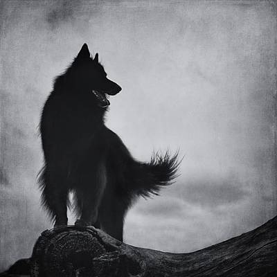 Belgian Sheepdog Photograph - Belgian Shepherd Groenendael 3 by Wolf Shadow  Photography