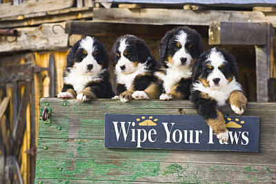 Bernese Mountain Dog Photograph - Bernese Mountain Dog Puppies Sit In An by Michael DeYoung