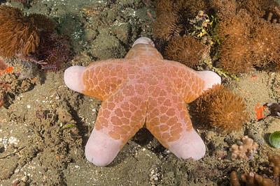 Doughboy Photograph - Big-plated Sea Star by Andrew J. Martinez
