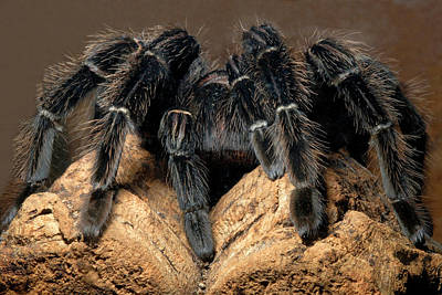 Bird-eating Spider Print by Nigel Downer