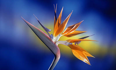 Bird Of Paradise Original by Kirk Ellison