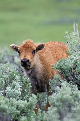 Bison Photograph - Bison Calf, Yellowstone National Park by Ken Archer