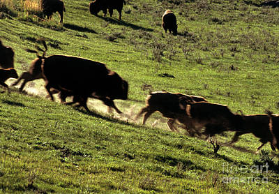 Bison Herd Running Print by William H. Mullins