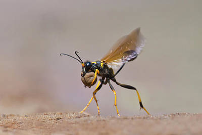 Black-and-yellow Mud Dauber (sceliphron Print by Larry Ditto