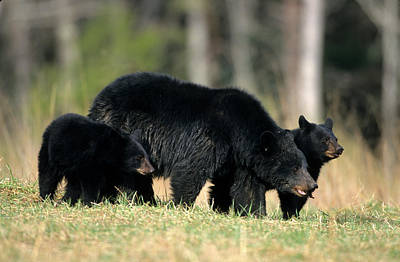 Great Mother Photograph - Black Bear (ursus Americanus by Richard and Susan Day